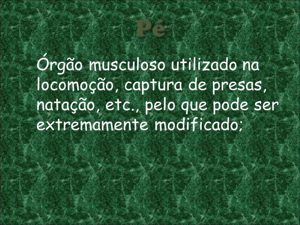 Pé Órgão musculoso utilizado na locomoção, captura de presas, natação, etc., pelo que pode ser extremamente modificado;
