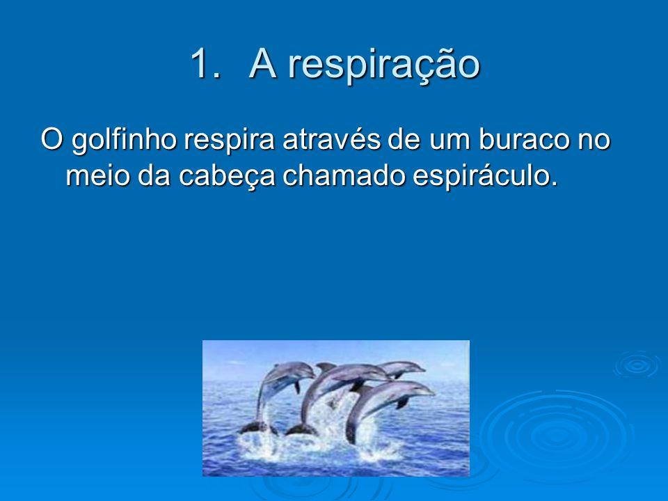 A respiração O golfinho respira através de um buraco no meio da cabeça chamado espiráculo.