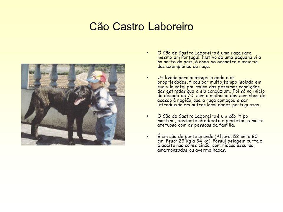 Cão Castro Laboreiro