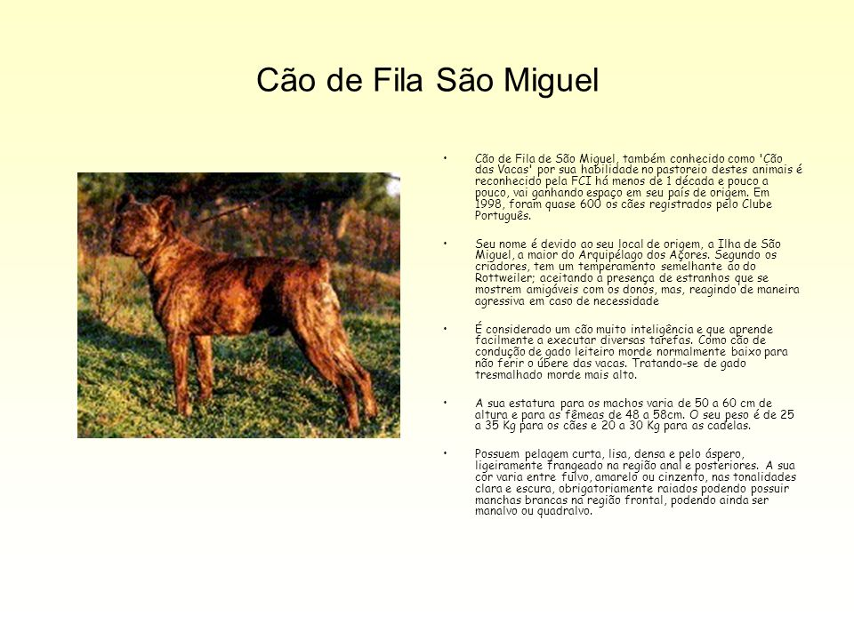 Cão de Fila São Miguel