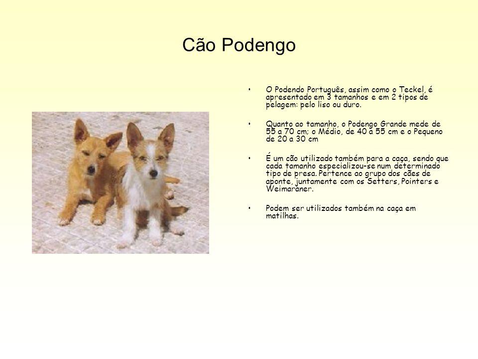 Cão Podengo O Podendo Português, assim como o Teckel, é apresentado em 3 tamanhos e em 2 tipos de pelagem: pelo liso ou duro.