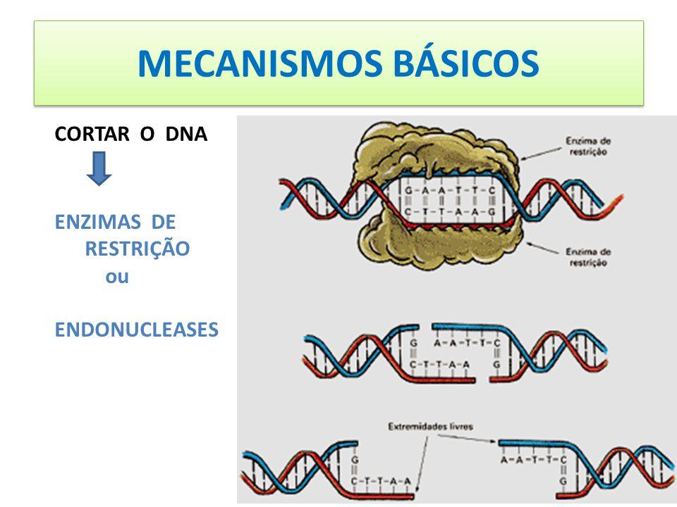 MECANISMOS BÁSICOS CORTAR O DNA ENZIMAS DE RESTRIÇÃO ou ENDONUCLEASES