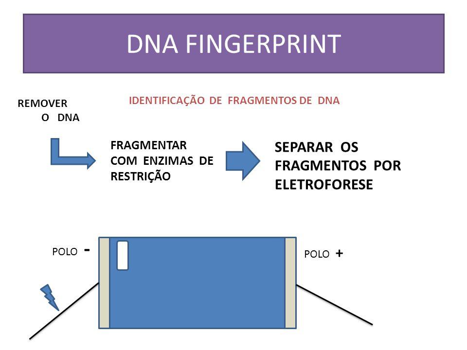 DNA FINGERPRINT SEPARAR OS FRAGMENTOS POR ELETROFORESE