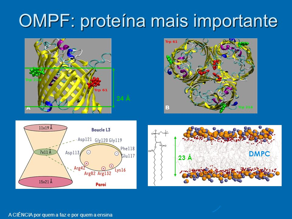 OMPF: proteína mais importante