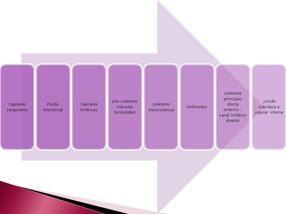 pré-coletores (válvulas bicúspides) coletores (musculatura) linfonodos