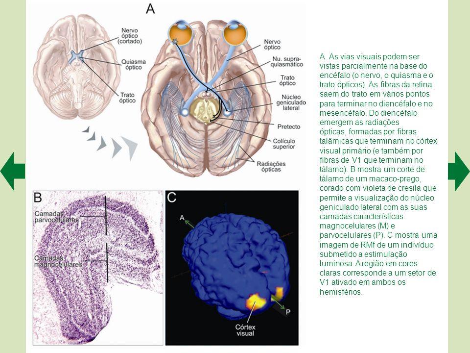 A. As vias visuais podem ser vistas parcialmente na base do encéfalo (o nervo, o quiasma e o trato ópticos). As fibras da retina saem do trato em vários pontos para terminar no diencéfalo e no mesencéfalo. Do diencéfalo emergem as radiações
