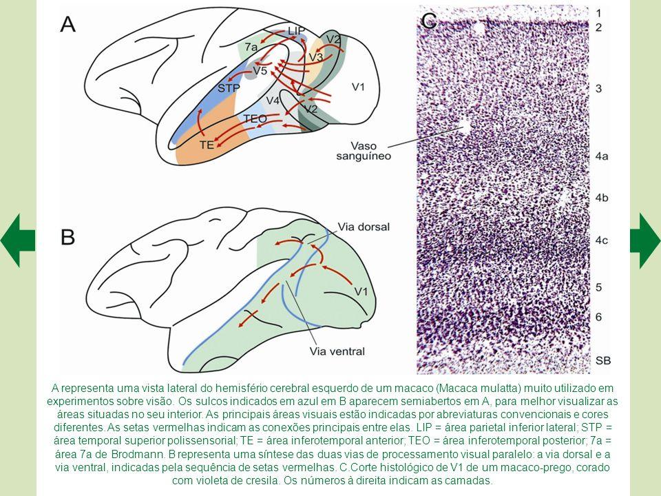 A representa uma vista lateral do hemisfério cerebral esquerdo de um macaco (Macaca mulatta) muito utilizado em experimentos sobre visão.