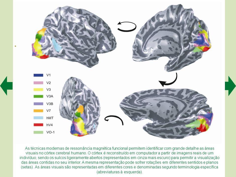 As técnicas modernas de ressonância magnética funcional permitem identificar com grande detalhe as áreas visuais no córtex cerebral humano.