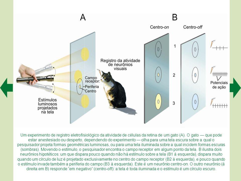 Um experimento de registro eletrofisiológico da atividade de células da retina de um gato (A).