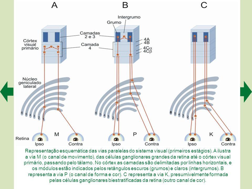 Representação esquemática das vias paralelas do sistema visual (primeiros estágios).