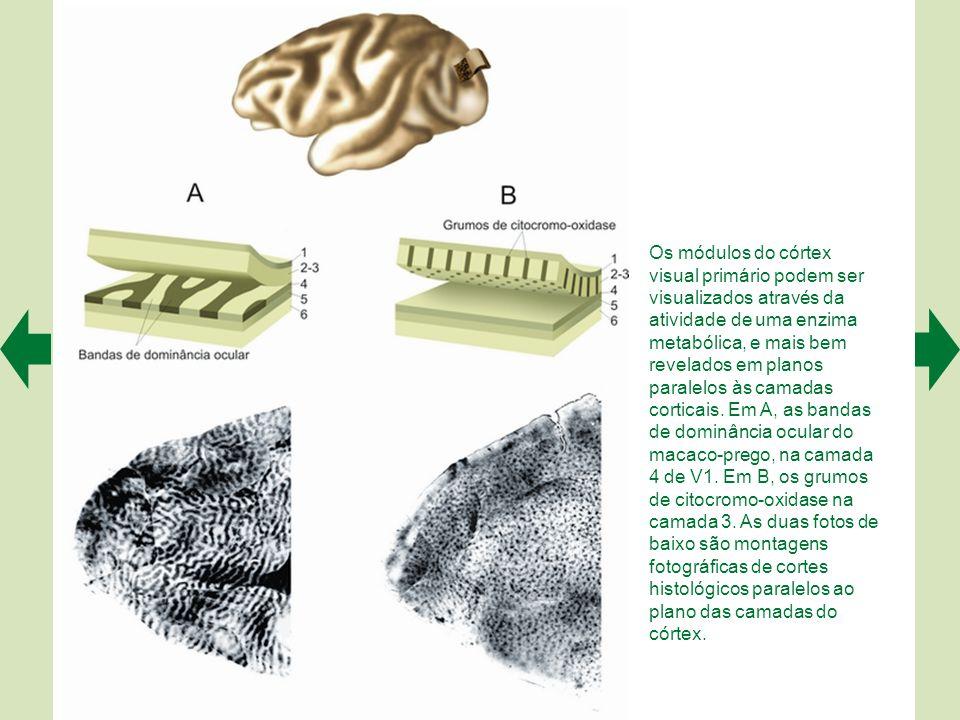 Os módulos do córtex visual primário podem ser visualizados através da atividade de uma enzima metabólica, e mais bem revelados em planos paralelos às camadas corticais.