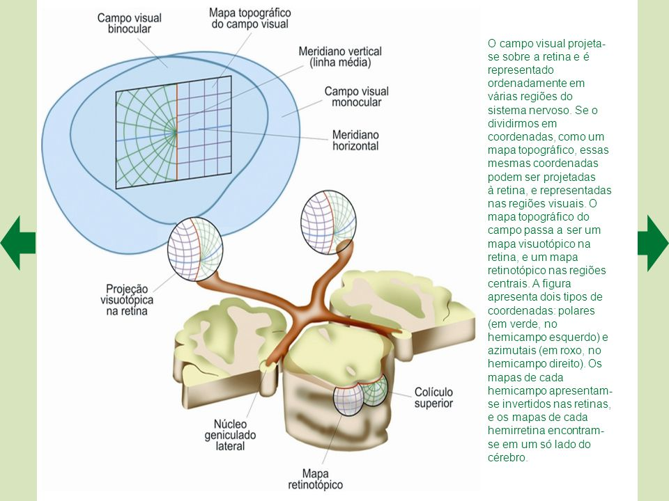 O campo visual projeta-se sobre a retina e é representado ordenadamente em várias regiões do sistema nervoso. Se o dividirmos em coordenadas, como um mapa topográfico, essas mesmas coordenadas podem ser projetadas