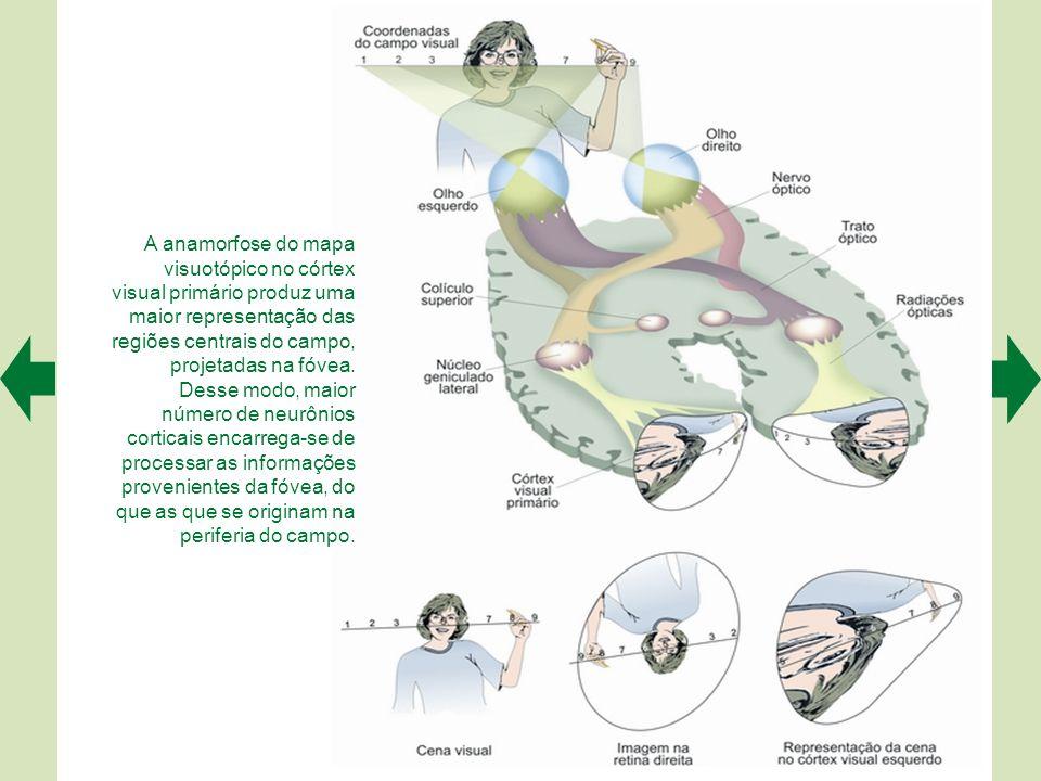 A anamorfose do mapa visuotópico no córtex visual primário produz uma maior representação das regiões centrais do campo, projetadas na fóvea.