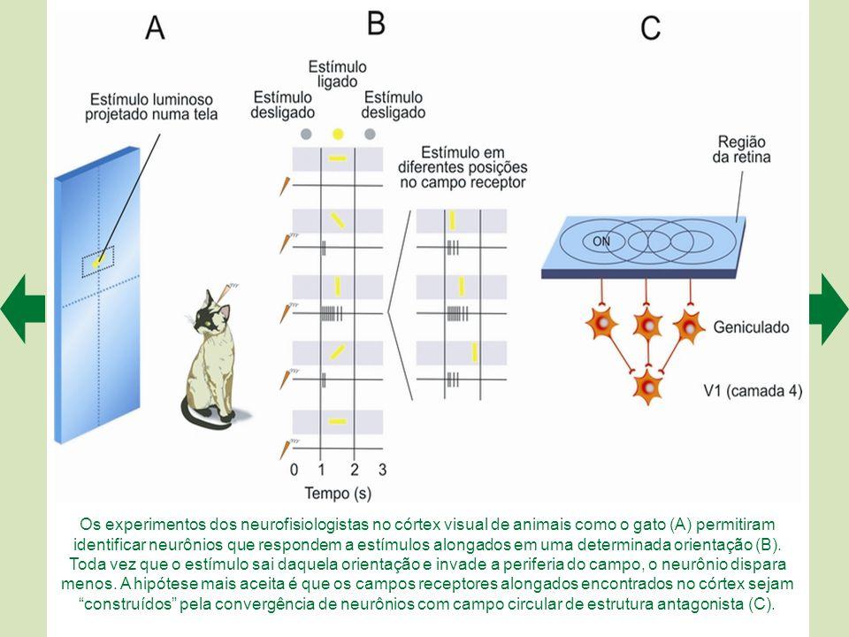 Os experimentos dos neurofisiologistas no córtex visual de animais como o gato (A) permitiram identificar neurônios que respondem a estímulos alongados em uma determinada orientação (B).