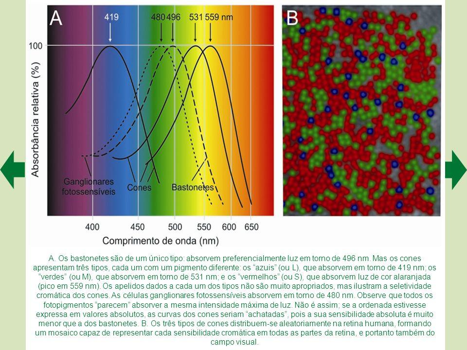 A. Os bastonetes são de um único tipo: absorvem preferencialmente luz em torno de 496 nm.