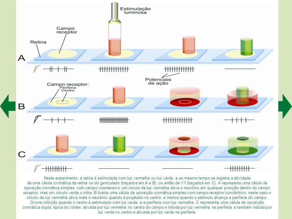 Neste experimento, a retina é estimulada com luz vermelha ou luz verde, e ao mesmo tempo se registra a atividade