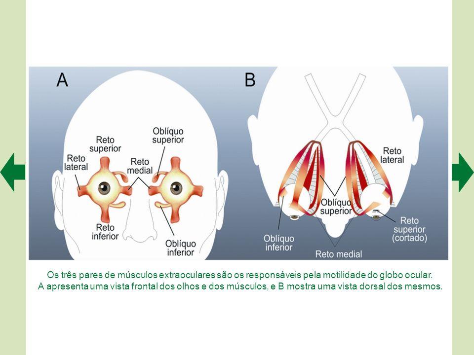 Os três pares de músculos extraoculares são os responsáveis pela motilidade do globo ocular.