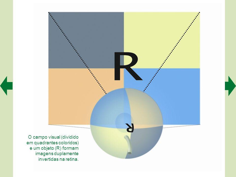 O campo visual (dividido em quadrantes coloridos) e um objeto (R) formam imagens duplamente invertidas na retina.