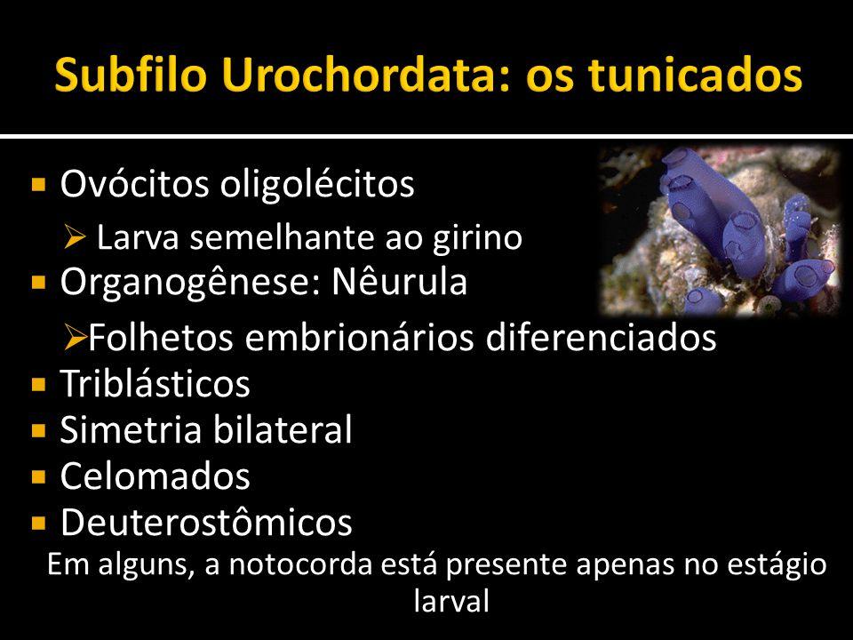 Subfilo Urochordata: os tunicados