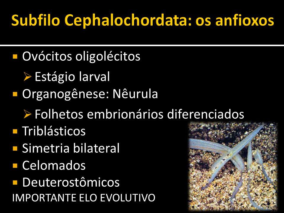 Subfilo Cephalochordata: os anfioxos