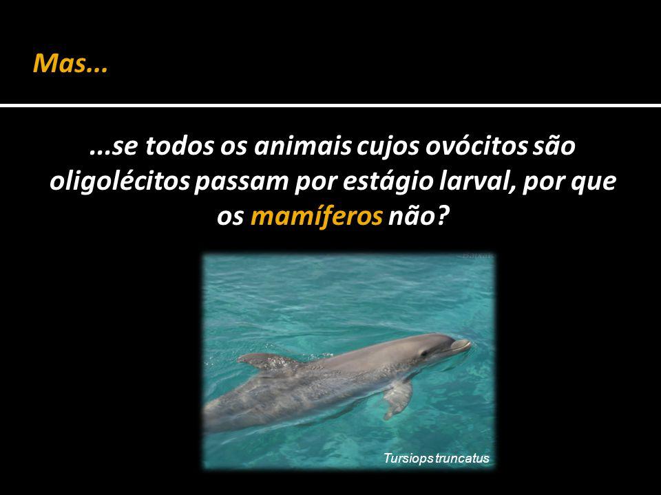 Mas... ...se todos os animais cujos ovócitos são oligolécitos passam por estágio larval, por que os mamíferos não