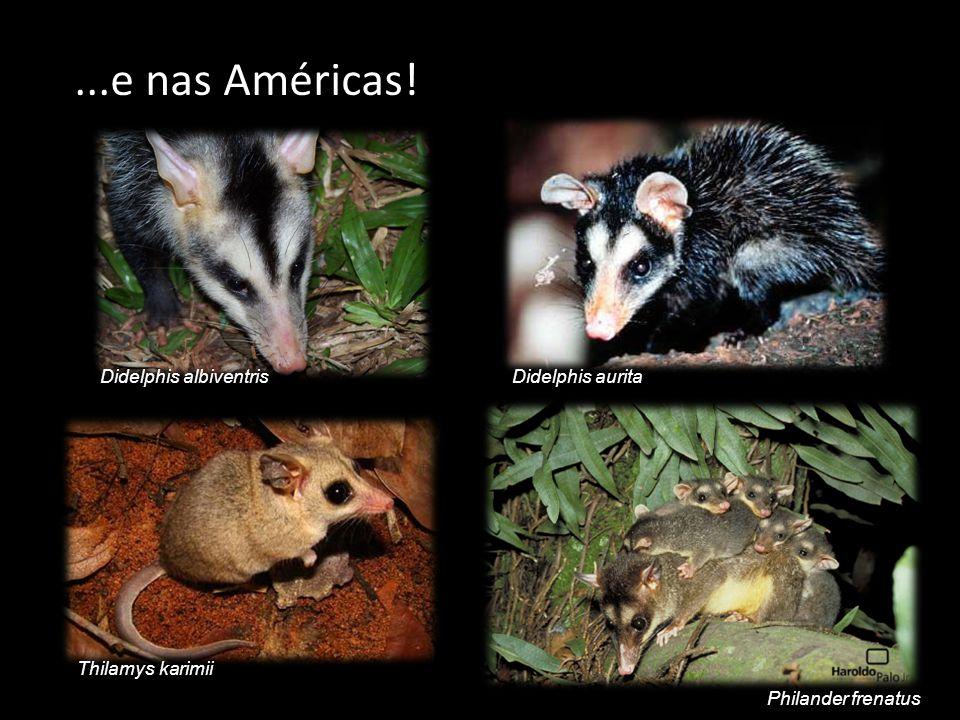 ...e nas Américas! Didelphis albiventris Didelphis aurita