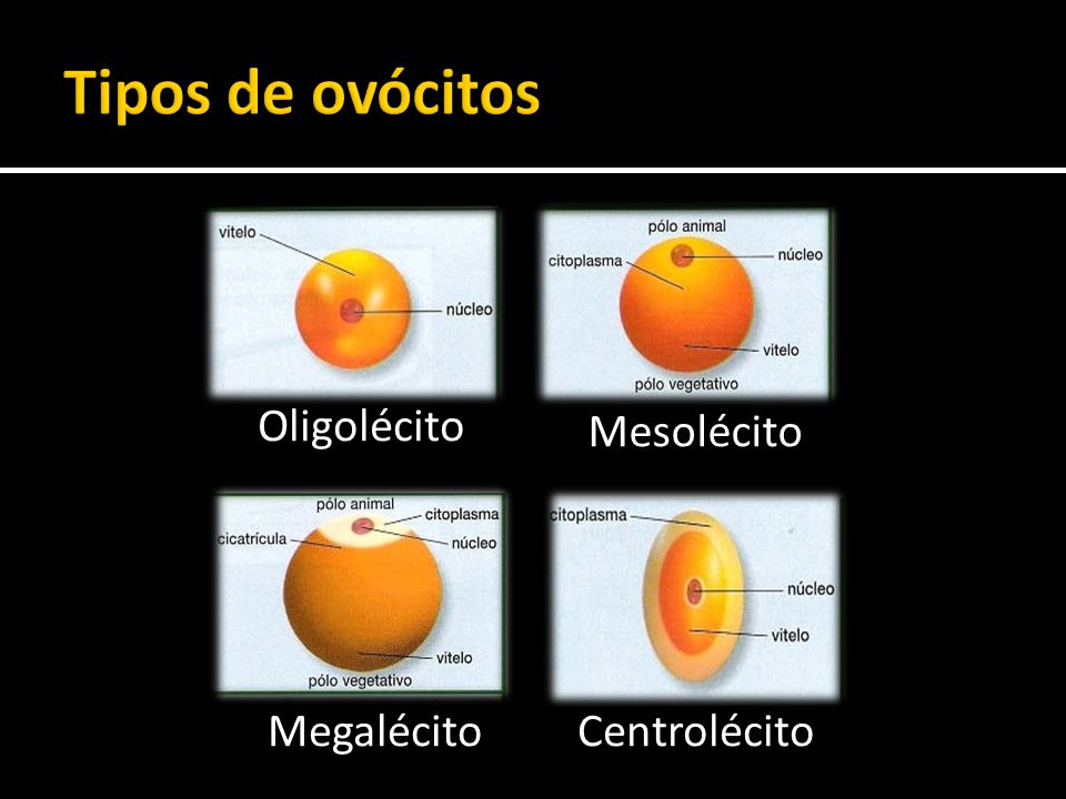 Tipos de ovócitos Oligolécito Mesolécito Megalécito Centrolécito