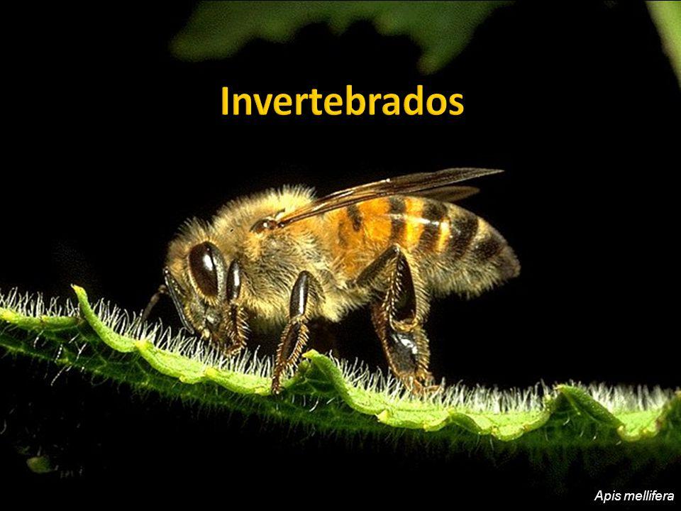 Invertebrados Apis mellifera