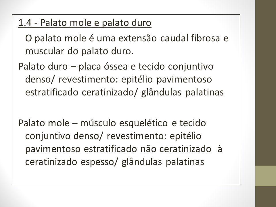 1.4 - Palato mole e palato duro O palato mole é uma extensão caudal fibrosa e muscular do palato duro.