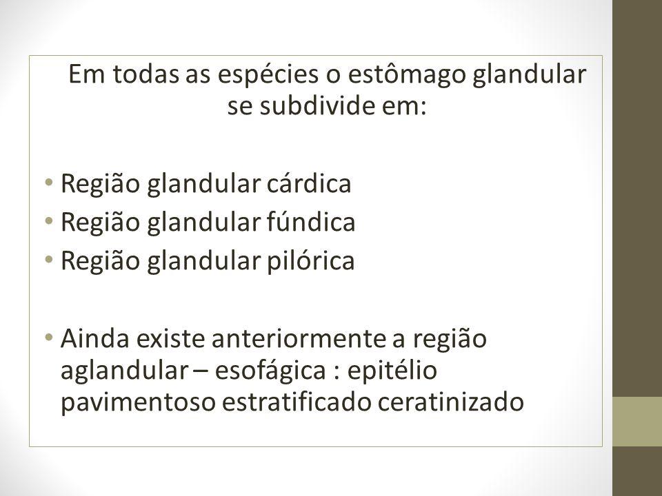 Em todas as espécies o estômago glandular se subdivide em: