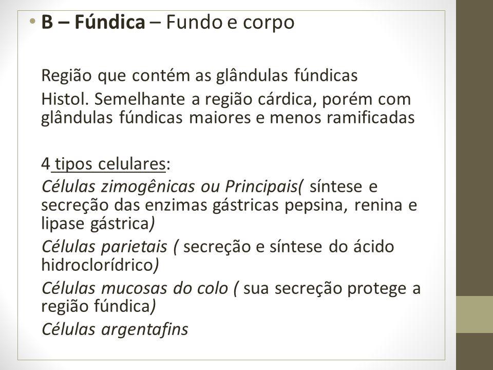 B – Fúndica – Fundo e corpo Região que contém as glândulas fúndicas