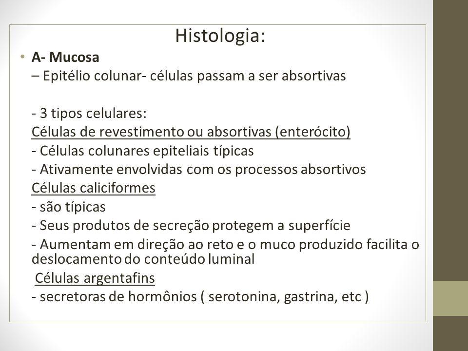 Histologia: A- Mucosa. – Epitélio colunar- células passam a ser absortivas. - 3 tipos celulares: