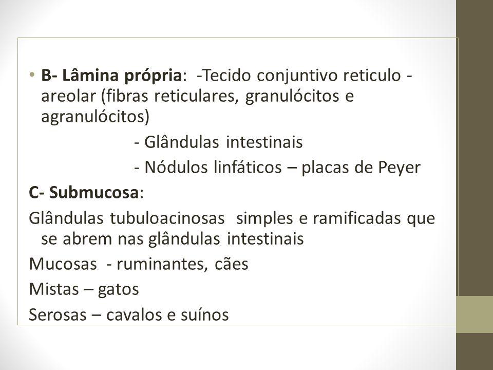 B- Lâmina própria: -Tecido conjuntivo reticulo -areolar (fibras reticulares, granulócitos e agranulócitos)