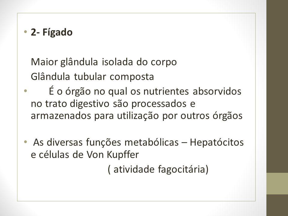 2- Fígado Maior glândula isolada do corpo. Glândula tubular composta.