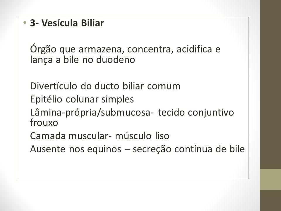 3- Vesícula Biliar Órgão que armazena, concentra, acidifica e lança a bile no duodeno. Divertículo do ducto biliar comum.