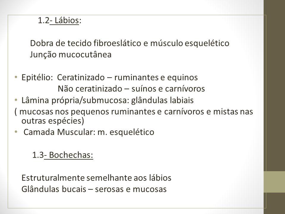 1.2- Lábios: Dobra de tecido fibroeslático e músculo esquelético. Junção mucocutânea. Epitélio: Ceratinizado – ruminantes e equinos.