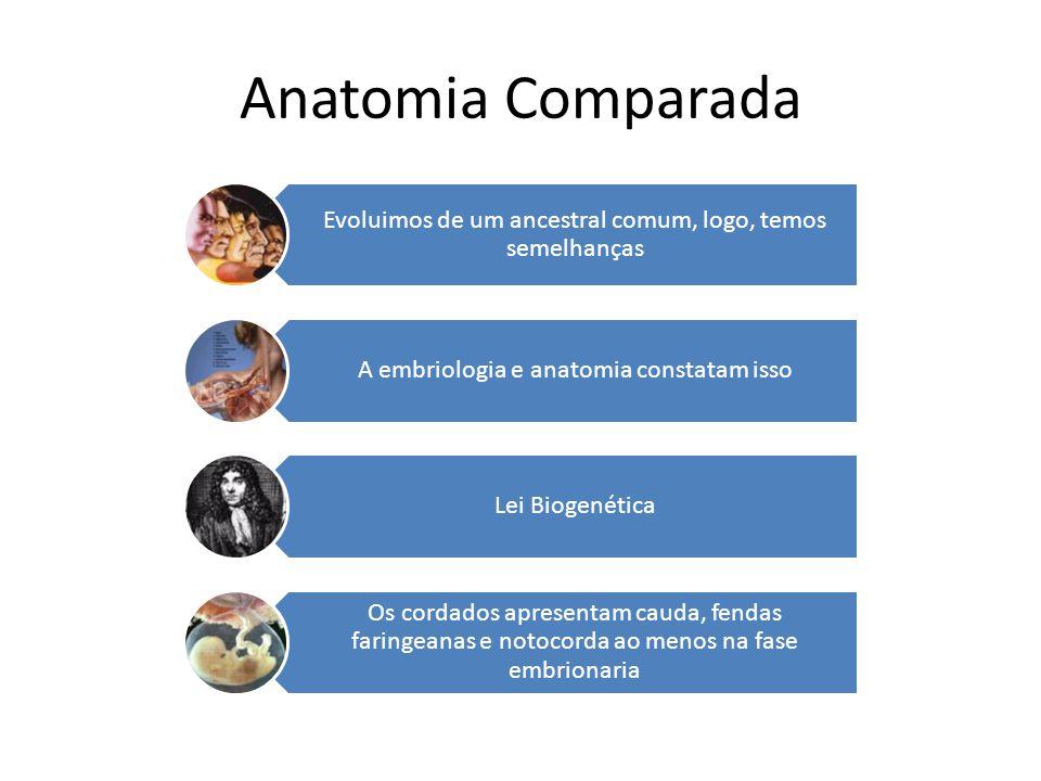 Anatomia Comparada Evoluimos de um ancestral comum, logo, temos semelhanças. A embriologia e anatomia constatam isso.