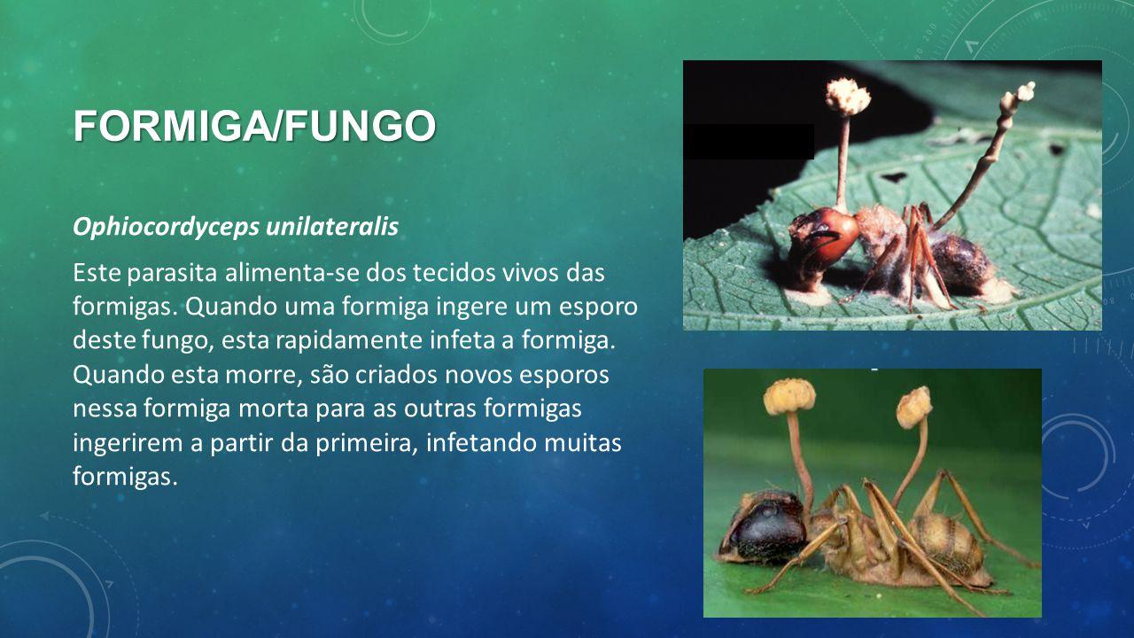 Formiga/fungo