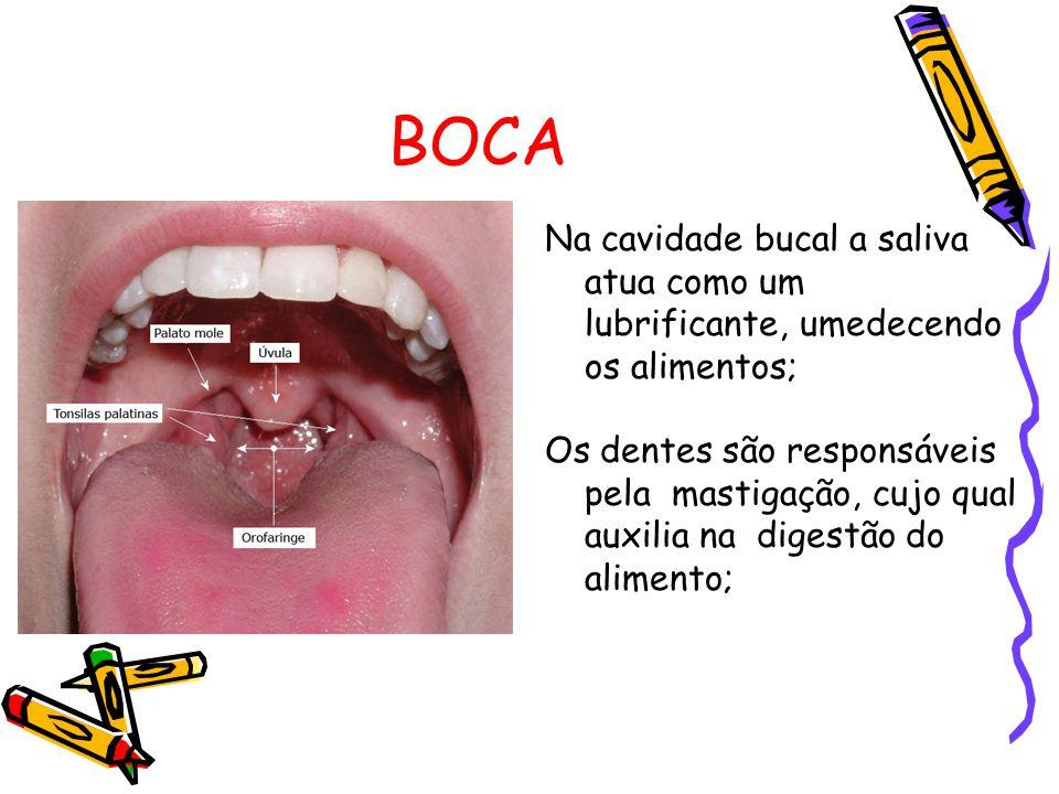 BOCA Na cavidade bucal a saliva atua como um lubrificante, umedecendo os alimentos;
