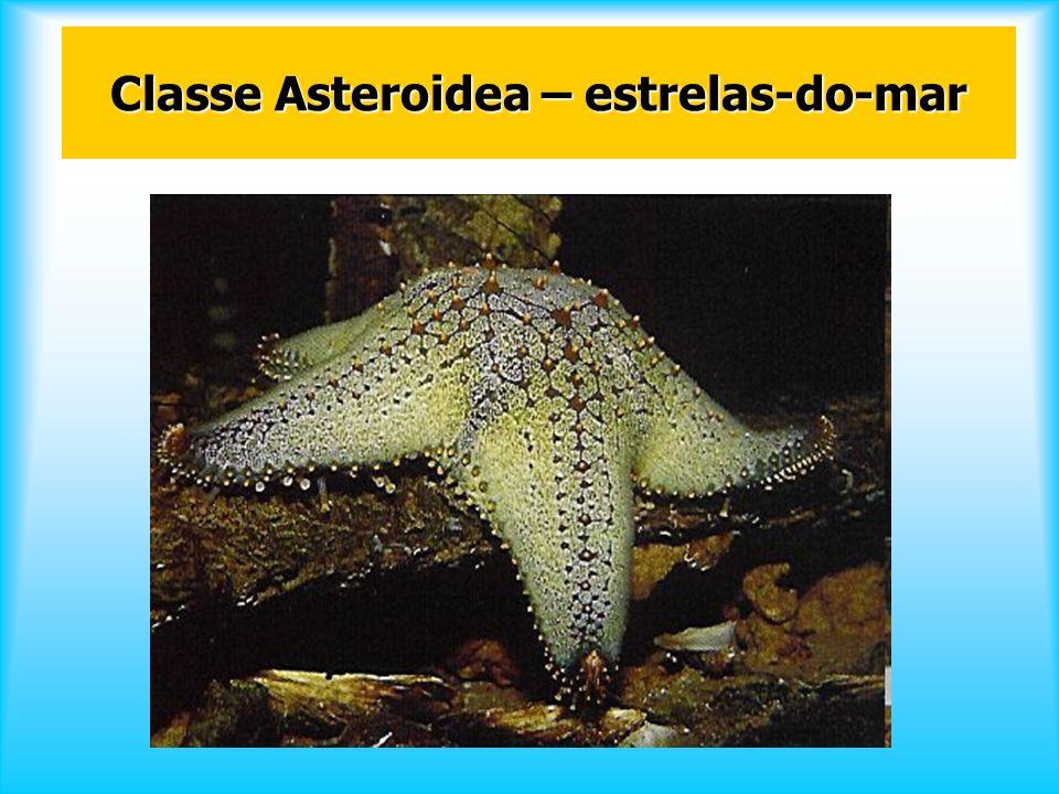 Classe Asteroidea – estrelas-do-mar