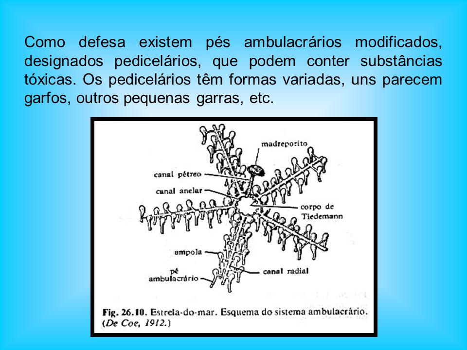Como defesa existem pés ambulacrários modificados, designados pedicelários, que podem conter substâncias tóxicas.