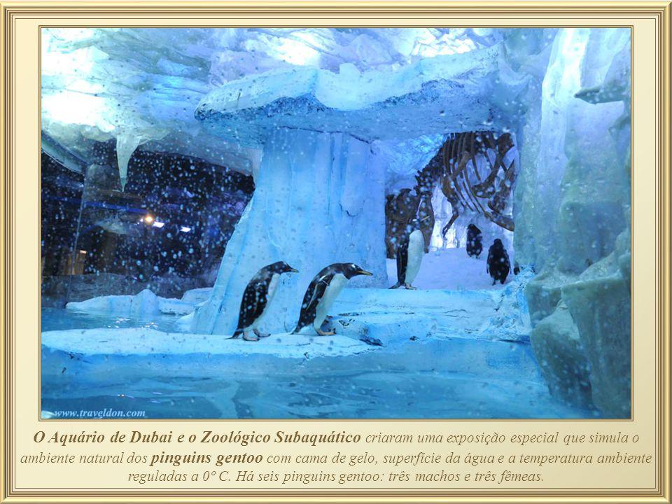 O Aquário de Dubai e o Zoológico Subaquático criaram uma exposição especial que simula o ambiente natural dos pinguins gentoo com cama de gelo, superfície da água e a temperatura ambiente reguladas a 0º C.
