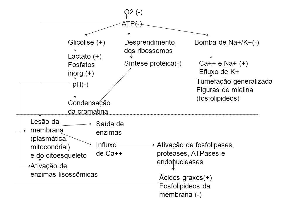 O2 (-) ATP(-) Glicólise (+) Desprendimento. dos ribossomos. Bomba de Na+/K+(-) Lactato (+) Fosfatos.