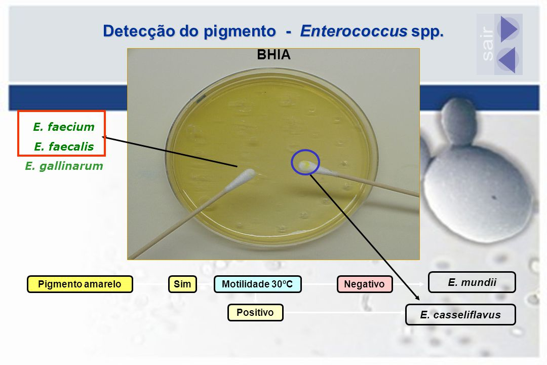 Detecção do pigmento - Enterococcus spp.
