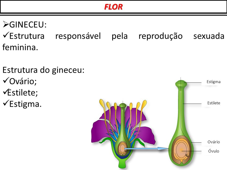 Estrutura responsável pela reprodução sexuada feminina.