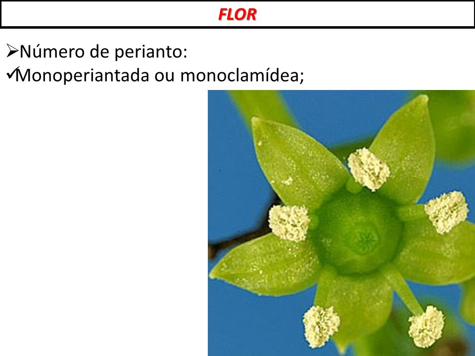 Monoperiantada ou monoclamídea;