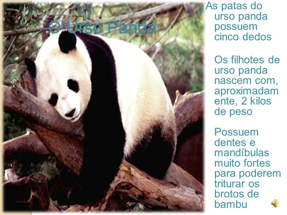 O Urso Panda As patas do urso panda possuem cinco dedos