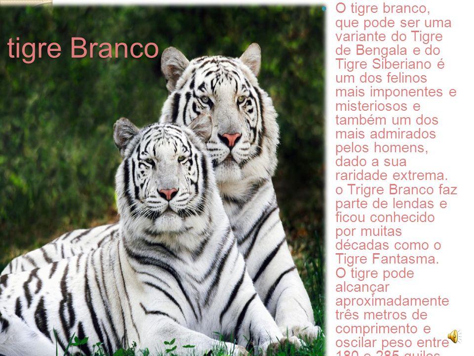 O tigre branco, que pode ser uma variante do Tigre de Bengala e do Tigre Siberiano é um dos felinos mais imponentes e misteriosos e também um dos mais admirados pelos homens, dado a sua raridade extrema. o Trigre Branco faz parte de lendas e ficou conhecido por muitas décadas como o Tigre Fantasma. O tigre pode alcançar aproximadamente três metros de comprimento e oscilar peso entre 180 e 285 quilos