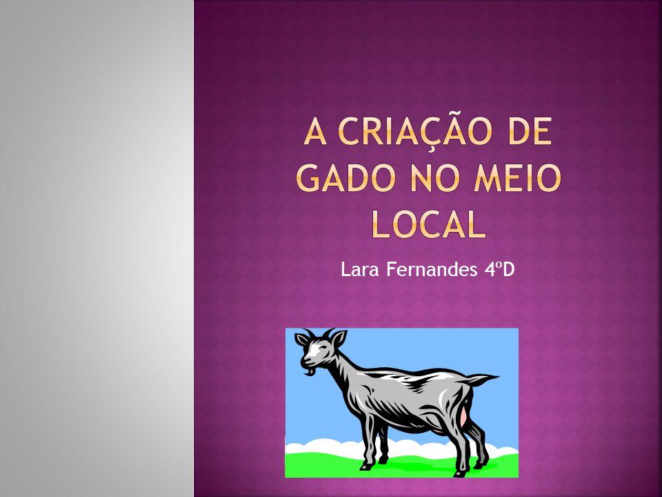 A criação de gado no meio local