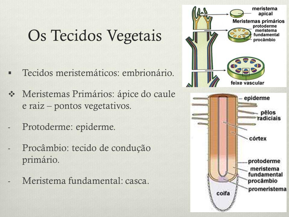 Os Tecidos Vegetais Tecidos meristemáticos: embrionário.